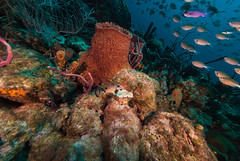 _DSC9270.jpg (b.campbell65) Tags: ocean life travel blue sea vacation fish nature water animal coral island sand marine colorful paradise underwater natural bottom scenic deep scuba diving sealife lagoon atlantic aruba deck antigua tropical barbados british caribbean aquatic wreck reef lesser berwyn undersea sponges antilles braincoral firecoral seabed seafloor frenchgrunt lesserantillies sergentmajors