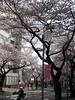 Tamaplaza たまプラーザ - Cherry Tree Street 桜通り (ウィウィ) Tags: japan blossom 桜 日本 yokohama japon 横浜 cherrytree cerisier totale fullbloom tamaplaza たまプラーザ 満開 fleuraison 咲く