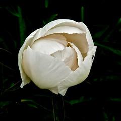 Witte Pioenroos . (Franc Le Blanc .) Tags: white flower nature lumix flora panasonic wit heusden pioenroos heemtuin