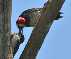 Acorn Woodpecker (orencobirder) Tags: woodpeckers flickrexport largebirds