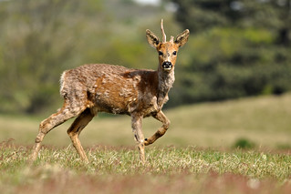 Scruffy roe deer