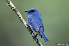 Pale Blue Flycatcher. Cikaniki Research Station, Gunung Halimun, West Java, Indonesia (13 May 2012) (Vinchel) Tags: canon indonesia java is ii usm gunung ef flycatcher 400mm halimun f28l 5dm2