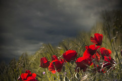 Rojo en la tormenta (Inmacor) Tags: red naturaleza storm flower primavera nature landscape atardecer spring flor paisaje cielo poppies campo fields amapola ltytr1 inmacor bestcapturesaoi elitegalleryaoi