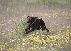 Baldo (superclaerchen) Tags: dog pet flower nature animal fly action run hund rennen choco fliegen baldo tierschutz deutschkurzhaar pflegehund superclaerchen hundehilfemariechen