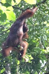 Orangutang crashing through the jungle (cjrushphotography) Tags: trees jungle sarawak borneo through swinging crashing orangutang