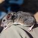 Pinyon Mouse (Peromyscus truei)