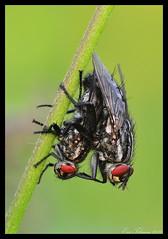 Common flesh fly / Dambordvliegen / Sarcophaga carnaria (Eric Tilman) Tags: flesh fly common sarcophaga carnaria dambordvliegen
