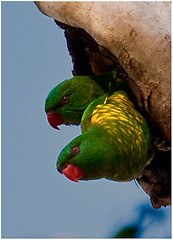 Scaly-breasted Lorikeets (Brian Aston) Tags: green bird yellow nikon feathers parrot australia ornithology queenslandaustralia d90 sequeensland scalybreastedlorikeets murphyscreek lockyervalley brianaston whiptail2011