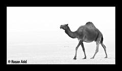 Camel (HASAN_ADEL) Tags: bw canon boat is ship desert camel arab saudi arabia 28 arabian camels 70200 60 adel   ksa hasan            60d