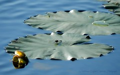 Surfer Dude (kelollman - Digital Captivity Photography) Tags: water yellow pond waterlily lily dragonfly pad lilypad whitefaceddragonfly