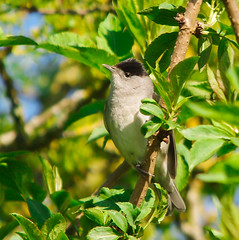 Male Blackcap (Alistair Prentice.) Tags: summer male spring lough song centre 150 500 prentice discovery warbler neagh kx migrant portadown blackcap lurgan