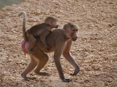 Baboons of Little Africa (cliffordjol) Tags: baboons ksa