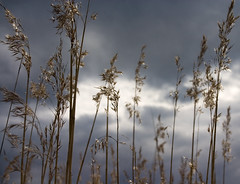 Dark skies ahead (DavidAndersson) Tags: sky reed weather clouds dark foreboding vnersborg vass sigma1850f3556 nygrdsngen