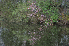 Concrete fence behind trees and shrubbery, 2012 (jeff o_o) Tags: pink flowers trees urban reflection water canal suburban shrubs waterway leedsliverpoolcanal