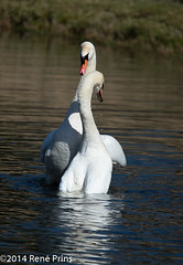 naspel (reneprins) Tags: paring zwaan zwanen amsterdamsewaterleidingduinen paringsdans