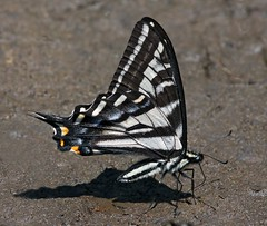 Pale Swallowtail (Papilio eurymedon) (Ron Wolf) Tags: california nature butterfly insect nationalpark wildlife sierra lepidoptera yosemitenationalpark paleswallowtail papilionidae puddling papilioeurymedon hetchhetchyvalley