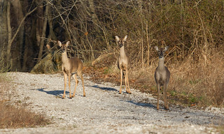 White-tailed Deer by Steve Gifford