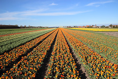 Lisse (NL) - Flowers fields (benoit_d) Tags: flowers field fleurs nl champ 2014 hollande lisse neederland