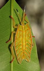 Giant Shield Bug or Giant Stink Bug Nymph (Tessaratomidae) (John Horstman (itchydogimages, SINOBUG)) Tags: insect macro china yunnan itchydogimages sinobug bug shield stink nymph hemiptera tessaratomidae green true entomology