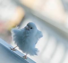 canari blanc (guyvitagasy) Tags: bird animal photography oiseau birdy oiseaux canari sary vorona
