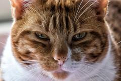 do not touch me! (brucexxit) Tags: cats cat felix felini gatto gatti