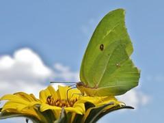 Anteos maerula (carlos mancilla) Tags: insectos butterflies mariposas anteosmaerula olympussp570uz