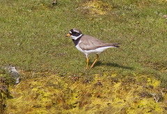 Ringed plover (Charadrius hiaticula) / Sandla (thorrisig) Tags: bird birds animals island iceland waterbird gras fugl sland orri thorri shorebird dorres wadingbird dr ringedplover charadriushiaticula fuglar sandla icelandicbirds sigurgeirsson orfinnur vafuglar vafugl thorfinnur thorrisig orrisig thorfinnursigurgeirsson orfinnursigurgeirsson grallatorialbird slenskirfuglar 862014 sigurgeirssonorfinnur