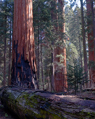 Morning in the Giant Forest (niallfritz) Tags: ngc sequoia bigtrees