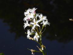 Bogbean (Essex Explorer) Tags: essex bogbean menyanthestrifoliata p1060745 littleburstead laindoncommon