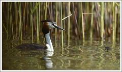 Grèbe huppé (guiguid45) Tags: bird nature nikon oiseaux étang sauvage greatcrestedgrebe podicepscristatus loiret 500mmf4 grèbehuppé d810