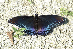 The red-spotted Admiral (MightySnail) Tags: redspotted purple limenitisarthemisastyanax redspottedadmiral redspottedpurple butterfly wings iridescent iridescence grass closeup summer