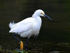 Snowy Egret (KoolPix) Tags: white bird nature animal beak feathers egret snowyegret nationalgeographic naturephotography naturephotos amazingnature jayd naturephotographer mnsa fantasticnature animalphotographer marinenaturestudyarea koolpix jdiaz wonderfulbirdphotos jaydiaz jaydiaznaturephotographer wcswebsite