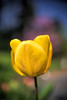 Yellow Beauty (fs999) Tags: flower macro fleur paintshop pentax sigma paintshoppro fullframe f18 blume makro corel bloem k1 1835 aficionados pentaxist 100iso artcafe hsm sigma1835 masterphotos pentaxian ashotadayorso macrolife justpentax topqualityimage zinzins flickrlovers pentaxk1 topqualityimageonly fs999 fschneider pentaxart pentaxk5iis sigmaart1835mmf18dchsm x8ultimate paintshopprox8ultimate