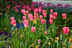 DSC_0014 (zeenat_sumra) Tags: pink flowers red roses flower castle heritage history rose germany garden deutschland spring nikon tulips may rosa palace unesco mai tulip schloss potsdam brandenburg garten frühling sansoucci tulpen tulpe fruehling historiche