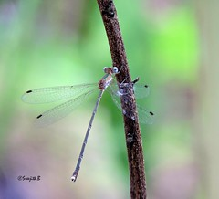 Emerald Spread wing - Female (sreejithkallethu) Tags: kerala damselfly kollam emeraldspreadwing damselfliesofkerala neeravil