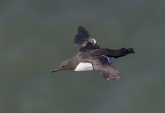 Guillemot Bempton Cliffs (Jims Fotos) Tags: canon flying flight cliffs seabird guillemot in bempton