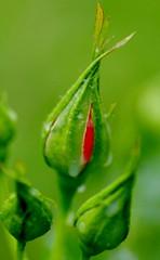 Marmalade Skies rosebud (Niki Gunn) Tags: flowers flower macro rose pentax may rosebud tamron 90mm k5 tamron90mm 2016 marmaladeskies tamron90mmf28 tamron90mmmacro tamronspaf90mmf28