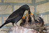 food-delivery (D.Reichardt) Tags: family food bird nature germany europe explorer mother explore delivery care blackbird chin