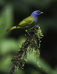 Blue-capped tanager - Thraupis cyanocephala (Luis Alcivar // www.sanjorgeecolodges.com) Tags: bluecapped tanager thraupis cyanocephala san jorge ecolodge tandayapa lodges ecuador south america birding bird photo workshops best luis alcivar cloud forest hummingbird sanctuary wildlife