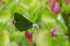 Green Hairstreak (Tim Melling) Tags: west green butterfly dale yorkshire hairstreak rubi denby callophrys timmelling