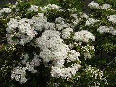 "Hawthorn blossom ""May"" (Kniphofia) Tags: flowers tree blossom hawthorn"