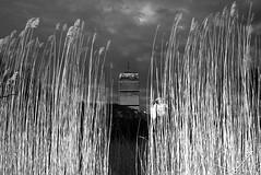 the.fens (jonathancastellino) Tags: park leica sky usa cloud green reed grass boston architecture clouds america ma evening break marsh thefens phragmitesaustralis
