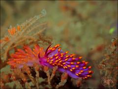 Nudibranch (Trinchesia sibogae) (Brian Mayes) Tags: canon underwater australia scuba diving nudibranch nelsonbay 1732 g16 flypoint brianmayes cuthonasibogae trinchesiasibogae canong16
