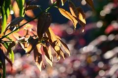 (*suika *) Tags: macro morninglight colours bokeh mygarden   tamron90mm shallowdof  nikond7000