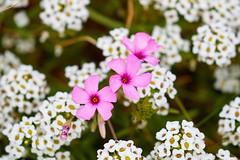 Oxalis articulata (ijmd) Tags: fleur flower france macro bretagne ledebatz