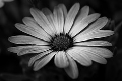 "Black and White Gerbera • <a style=""font-size:0.8em;"" href=""http://www.flickr.com/photos/44801982@N04/27308670603/"" target=""_blank"">View on Flickr</a>"