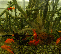 Goldfish and cacti (cod_gabriel) Tags: cactus fish cacti aquarium goldfish bulgaria fishtank jardimbotnico opuntia botanicalgarden hortusbotanicus  bulgarie jardnbotnico balchik  ortobotanico botanischergarten  bulgarije bulgarien dobrudja bulgaristan bugarska balcic   bugaria dobrogea dobroudja   acvariu  ogrdbotaniczny  cadrilater bulgria botanisktrdgrd  grdinabotanic botanikbahesi     dobruda dobruca dobruja  dobruda   balchikbotanicalgarden  limbasoacrei   dobrudzsa dobrugia dobroedzja dobrudzja   grdinbotanic kaktuszflk  caraiaurii  cactui kebunbotani gradinabotanicabalcic  carasauriu