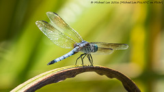 Blue Dasher in Central Park (P6264068) (Michael.Lee.Pics.NYC) Tags: newyork insect dragonfly bokeh centralpark olympus perch mkii markii harlemmeer bluedasher em5 lumix100400mm