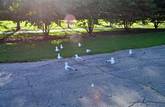 SEAGULLS (spongerob10) Tags: seagulls chicago architecture tickets otis blues clay concerts merch rickshaw fest buckinghamfountain bluesfest chicagopolice cna 2016 congresstheater chicagopolicedepartment chopper7