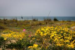 Infiorata primaverile (SDB79) Tags: panorama mare dune natura giallo fiori paesaggio molise petacciato fiorescenza
